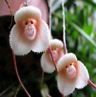 FD940 Rare Monkey Face Orchid Flower Seeds Plant Seed Bonsai New Arrival 10PCs:)