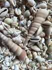 25, 50, 100 x Mixed packs of mini Beach shells, seashells perfect 4 card craft
