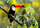 COLOURFUL TOUCAN - Wild Birds Poster Picture Print Sizes A5 to A0 *FREE DELIVERY