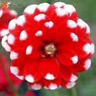 Red and White Point Dahlia Seeds Beautiful Perennial Flowers Seeds Dahlia for DI