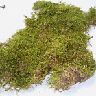 Dried/Preserved  MOSS NATURAL for craft/floral decorations