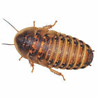 dubia roaches for sale