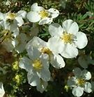 "Potentilla""Abbotswood White"" 3, 6, or 10 Hardy Flowering Shrubs Live Plants!"