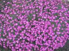 "Dianthus""Cheddar Pinks"" Choose 3,6 or10  Perennial Plants,Rock Gardens!"
