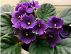 BEAUTIFUL PLANT ! Bonsai Flower Seeds African Red Purple, Sky Blue Violet Seed