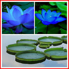 Rare 10pcs White, Pink, Yellow, Blue Lotus Seeds Aquatic plants Water lily seeds