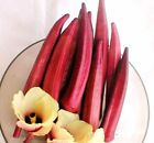 Okra Red Burgundy (select 25 thru 5LB seeds)  RARE Creole Cooking Flowers ST#264
