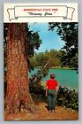 Minnesota MN State Tree Norway Red Pine Boy By Lake Postcard 1950s