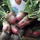 USA SELLER Giant Red Mangle Beet 50-1500 seeds HEIRLOOM NON GMO