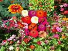Zin Master Zinnia Flower Mix Seed by Zellajake Many Sizes Free Ship  S27