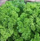 Parsley Triple Moss Curled Seeds 1100 to 1 LB FREE SHIP Microgreen or Farm #59