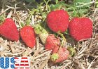 USA SELLER Albion Strawberry 25-200 seeds HEIRLOOM NON-GMO