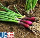 USA SELLER Red Evergreen Bunching/Green Onion 100-800 seeds HEIRLOOM NON GMO