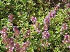 Creeping Thyme (2000 thru 2LB seeds) FREE SHIP Rock Cress Flower Herb Garden #24
