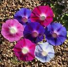 Morning Glory Seeds Tall Mix Sizes to 5 LB Vine Pink Blue White Flower #329