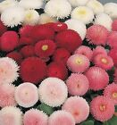 English Daisy Double Flower Mix Seeds Buy 650 to 1/4LB Cut Many Colors Pink #74