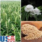 USA SELLER Sesame (White Flowering) 30-500  seeds HEIRLOOM NON GMO