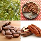 USA SELLER Pecan 4- Tree Seeds HEIRLOOM NON-GMO