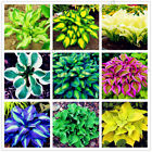 1000pcs/pack Hosta Seeds Perennials Plantain beautiful Lily Flower White Lace