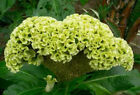 300 Green Cockscomb seeds Celosia Cristata Annual Flower easy grow CombSH F43