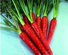 Vegetable - Carrot - Red Samurai F1 - 100 Seeds - Economy Pack #1565