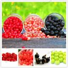 106 Pcs  Red currant Fruit plant Pan American Gooseberry seeds Lantern fruit see