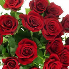 China Rare Red Rose Flower Seeds 10 Pcs Lot High Germination Rate Free Shipping