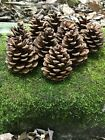 Pine Cones, Red Pine, 10 count