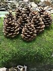 Pine Cones, Red Pine, 100 count
