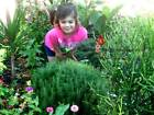 Rosemary Herb Seeds by Zellajake Many Sizes FREE SHIP Cook Garden USA 148C