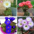 20PCS Giant Succulents bonsai plant Flowering Cactus bonsai seeds Rare Flower pl