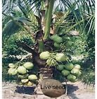 2 Sprouted KING Coconut Organic seeds from the lsland of Puerto Rico