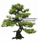 Pinus Resinosa 10 Seeds Red Pine Tree able to grow out of rocks aged rugged look