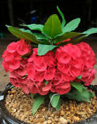 LOT!NEW!!100 plant with root Crown of thorns plant Euphorbia milli w Certificate
