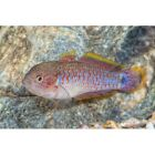 Peacock Gudgeon Goby 1.5