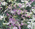 EVENING SCENTED STOCK  Matthiola Bicornis Bulk Flower Seeds + Free Seeds