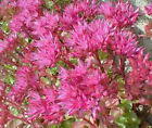 SEDUM DRAGONS BLOOD STONECROP Sedum Spurium Bulk Flower Seeds + Free Seeds
