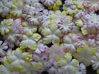 50 or 100 PASTEL POLKA DOT mulberry paper FLOWER PACKS exclusive to CRAFTY COW