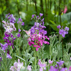 MATTHIOLA INCANA PERFUME GILLY FLOWER SCENTED APPROX.600 FRESH SEEDS PER GRAM