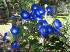MORNING GLORY IPOMOEA INDICA CYPRESS FRESH SEEDS FREE POST