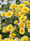 LAYIA PLATYGLOSSA SIERRA TIDY TIPS FRIED POACHED EGG FLOWER APPROX.1200 SEEDS