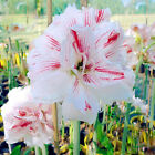 2Pcs Bulbs Hippeastrum Amaryllis Bonsai Seeds Plant Flower Home Garden Decor NEW