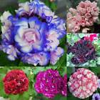 10pcs Geranium Seeds Pelargonium Hortorum Flower Seeds Garden Potted DZ88