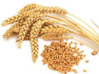 WHITE WHEAT Organic seed Non-GMO NEW Seeds 50-500 usps Shipping ! FROM US