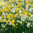 Beautiful Flower Mixed Daffodils Naturalizing Perennial Plant Seeds Bulbs Roots