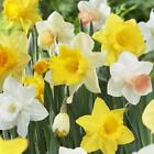 Daffodils Bulbs Naturalizing Dream Mixture Plant Flower Planting Seeds Gardening