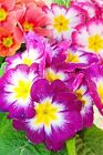 Purple red and pink Primrose vulgaris flowers photograph picture poster print