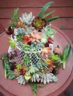 12 or 22 Assorted Succulent Cuttings/ 10 or 20 Varieties with BONUS