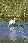 Fishing Egret Photograph by Andrew Starling Signed Bird Animal Print 5x7
