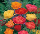 CALIFORNIA POPPY MISSION BELL Eschscholzia Californica Flower Seeds + Free Seeds